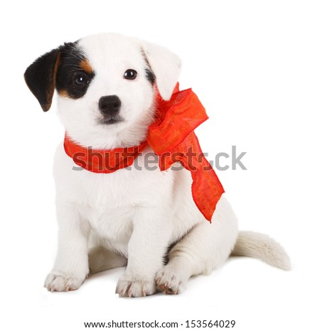 Jack Russell puppy with red cockade on white background