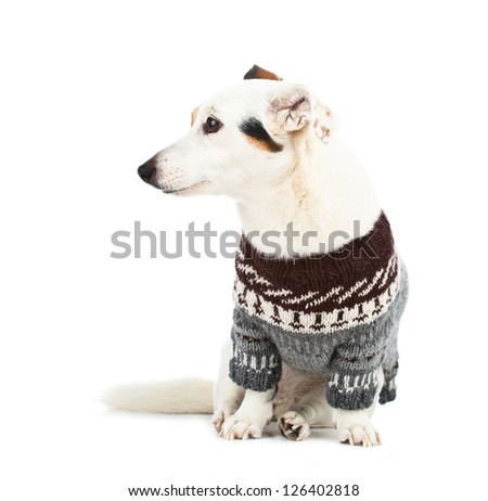 Jack russell sitting with sweater on white background
