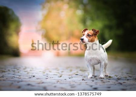 Jack russell terrier #1378575749