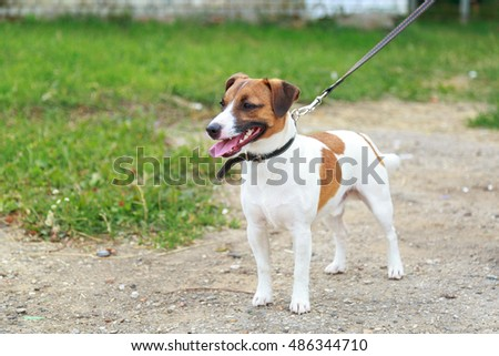 Jack Russell Terrier #486344710