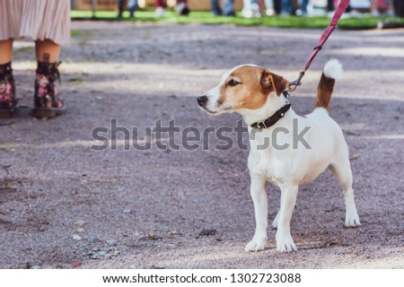 Jack Russell Terrier at the dog show, an exhibition outdoors #1302723088