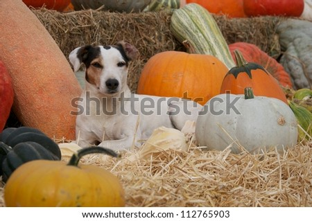 Jack Russell Terrier Dog and Pumpkin Patch I