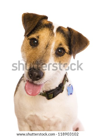 Jack Russell Terrier dog head shot isolated on white