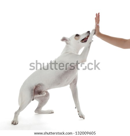 Jack Russell Terrier dog high five with female hand on white