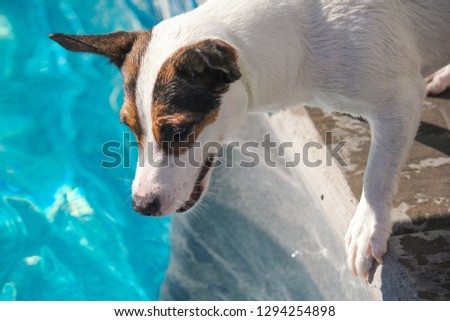 1cfba619110 Jack Russell Terrier dog leaning over outdoor swimming pool looking at  something on a sunny hot