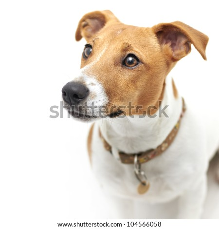 Jack Russell Terrier dog looking upward