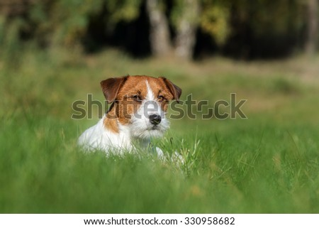 jack russell terrier dog lying down in grass