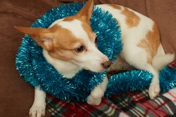 jack russell terrier dog lying on fur with christmas decorations