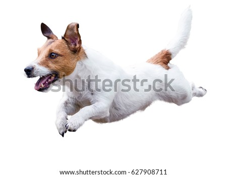 Jack Russell Terrier dog running and jumping isolated on white