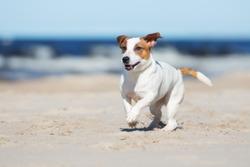 jack russell terrier dog running on a beach