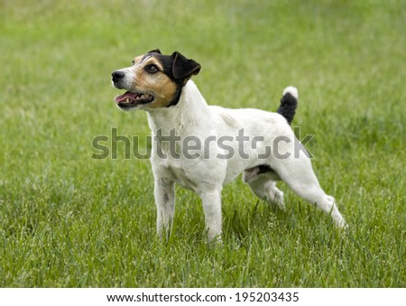 Jack Russell Terrier dog standing looking at owner waiting to play outdoors in green grass
