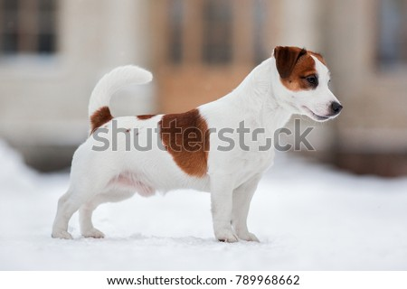Jack Russell Terrier dog standing sideways in the winter on a snowy road, exterior, conformation Foto stock ©
