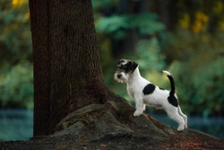 Jack Russell Terrier dog stands with front paws on a tree with water in the woods in summer park