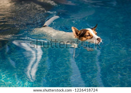 caa78e4d62e Jack Russell Terrier dog swimming in backyard swimming pool on a sunny day   1226418724