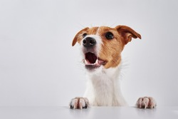 Jack Russell terrier dog with paws on the table. Portrait of cute dog