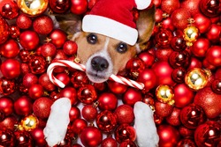 jack russell terrier  dog with santa claus hat for christmas holidays resting on a xmas balls background with candy sugar stick