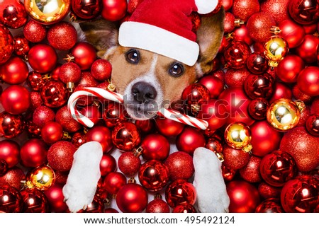 jack russell terrier  dog with santa claus hat for christmas holidays resting on a xmas balls background with candy sugar stick #495492124