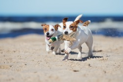 jack russell terrier dogs playing on a beach