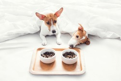 Jack Russell Terrier have breakfast in bed