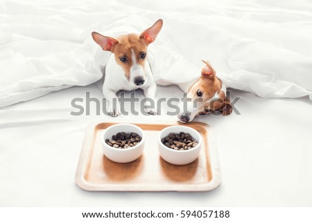 Jack Russell Terrier have breakfast in bed #594057188