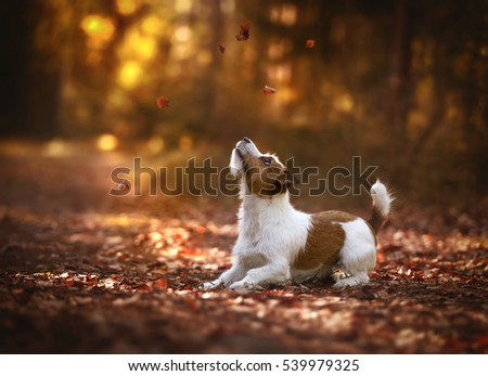 Jack Russell Terrier in the autumn forest Foto stock ©