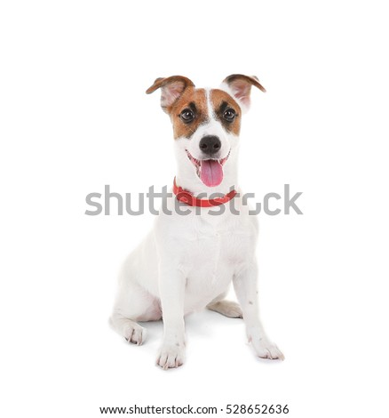 Jack Russell Terrier, isolated on white #528652636