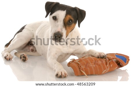 jack russell terrier laying down with baseball glove with reflection on white background