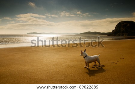Jack Russell Terrier looks out over a beach