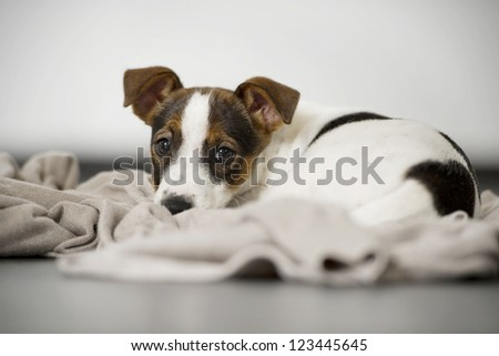 Jack russell terrier lying young studio