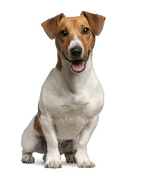 Jack Russell Terrier, 12 months old, sitting in front of white background
