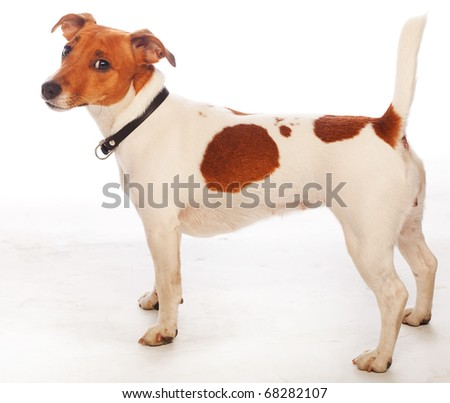 Jack russell terrier on white background