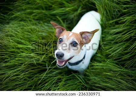 Jack Russell Terrier playing outside