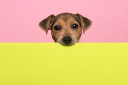 Jack Russell terrier puppy chewing on the border of a lime green board on a pink background with copy space