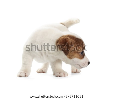 Jack Russell Terrier puppy isolated on white background. #373911031