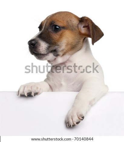 Jack Russell Terrier puppy, 2 months old, getting out of a box in front of white background - stock photo