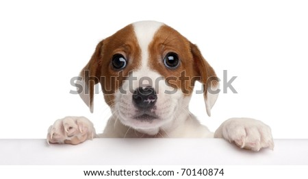 Jack Russell Terrier puppy, 2 months old, getting out of a box in front of white background #70140874