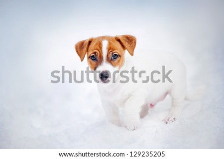 Jack Russell Terrier puppy, 2 months old, portrait in winter