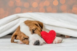 Jack russell terrier puppy sleeps on a bed at home with red heart on festive background. Valentines day concept