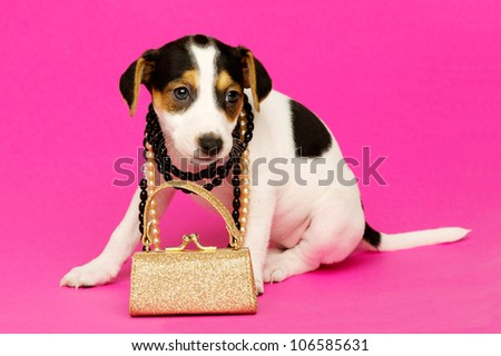 Jack Russell Terrier puppy wearing necklaces isolated on a pink background
