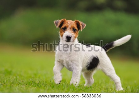 Jack Russell Terrier puppy 11 weeks in the grass discovers the world