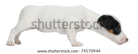 Jack Russell Terrier puppy, 7 weeks old, sniffing in front of white background