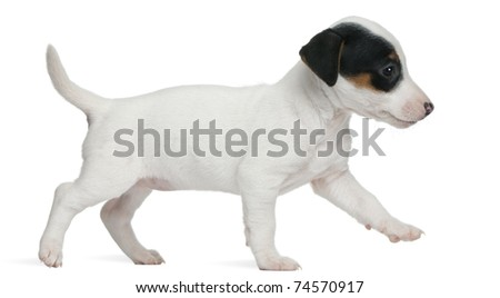 Jack Russell Terrier puppy, 7 weeks old, walking in front of white background