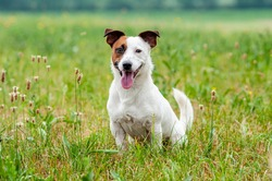 Jack Russell Terrier sitting in a field and smiling. Happy dog in a natural park
