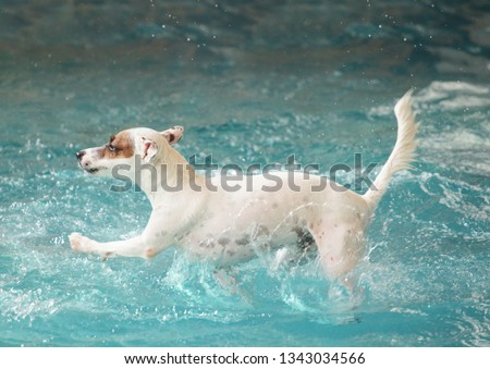 76b5fbb491a Jack russell Terrier was enjoying swimming in a dog pool. The jump-shot was