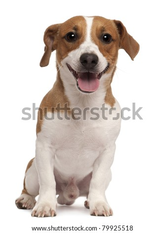 Jack Russell Terrier, 1 year old, sitting in front of white background