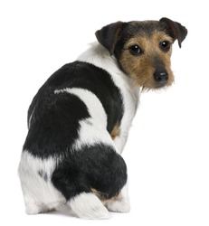 Jack Russell Terrier, 3 years old, sitting in front of white background