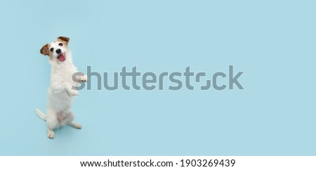 Jack russell trick. Dog sitting on hind legs begging behaviour. Isolated on blue background. Foto d'archivio ©