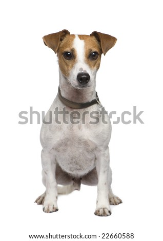 Jack russell (2 years) in front of a white background - stock photo