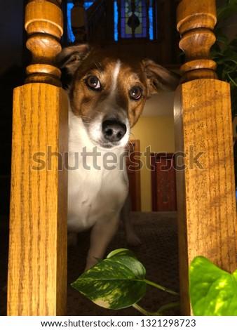 Jack Terrier portrait #1321298723