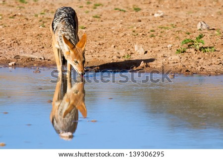 Jackal drinking water in desert with reflection